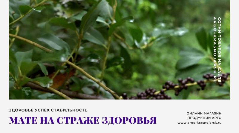 Уникальные свойства растения Мате на страже здоровья